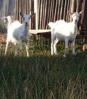 Продаются козы