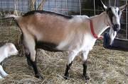 Продам хороших коз от 1 года о 2-ух