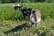 Распродаю стадо высокоудойных коз и козлят