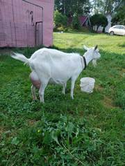 продаю дойную молодую козу